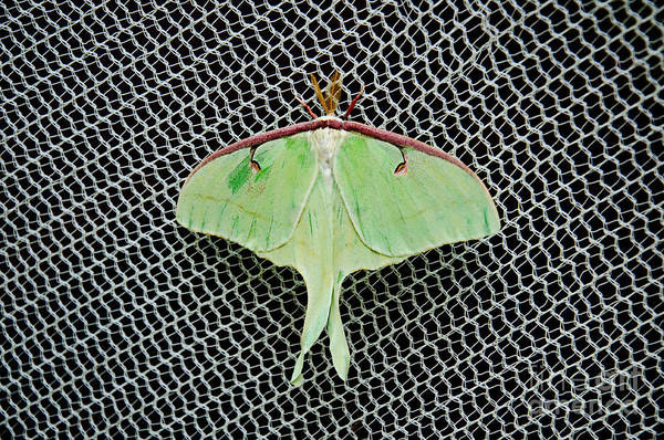 Luna Moth Poster featuring the photograph Mint Green Luna Moth by Andee Design