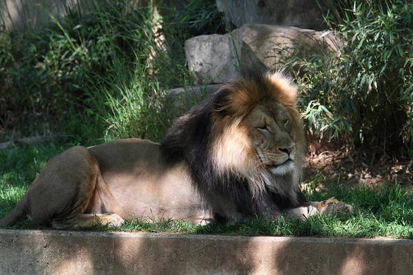 National Poster featuring the photograph National Zoo - Lion - 011317 by DC Photographer