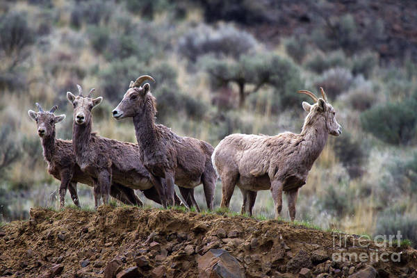 Bighorn Poster featuring the photograph On The Ledge by Mike Dawson