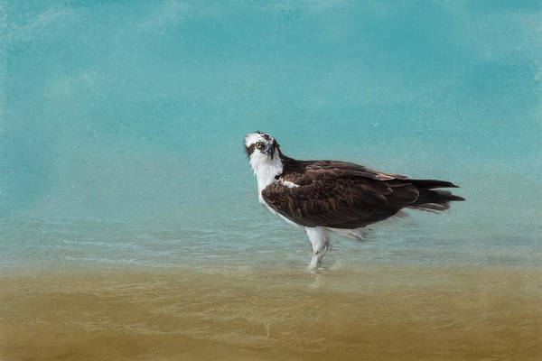 Osprey Poster featuring the photograph On The Shore - Osprey by Kim Hojnacki