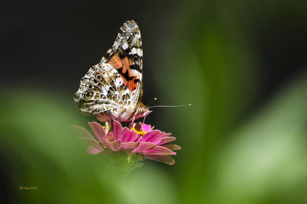 Painted Lady Poster featuring the photograph Painted Lady Butterfly At Rest by Christina Rollo