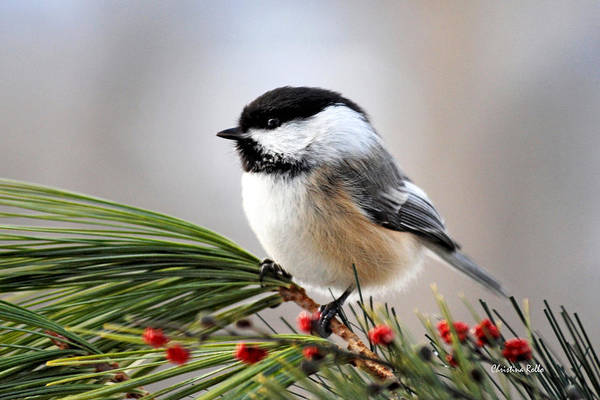 Black Capped Chickadee Poster featuring the photograph Pine Chickadee by Christina Rollo