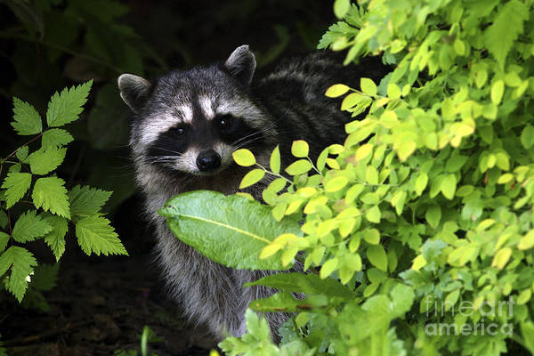 Raccoon Poster featuring the photograph Raccoon Peek-a-boo by Sharon Talson
