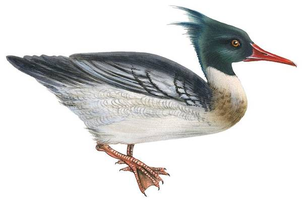 No People; Horizontal; Full Length; White Background; Standing; One Animal; Animal Themes; Illustration And Painting; Red-breasted Merganser; Aquatic; Mergus Serrator; Bird Poster featuring the drawing Red-breasted Merganser by Anonymous