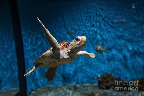 Fish Poster featuring the photograph Sea Turtle 5d25085 by Wingsdomain Art and Photography