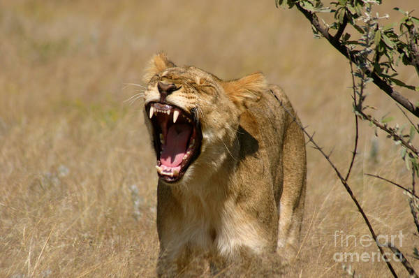 Lion Poster featuring the photograph Sleepy Lioness by Alison Kennedy-Benson