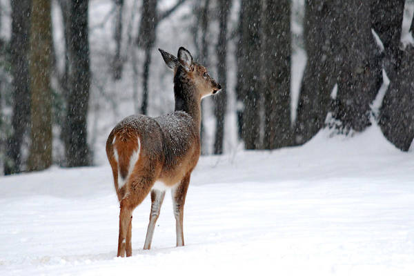 Snowy Poster featuring the photograph Snowy White Tail by Christina Rollo