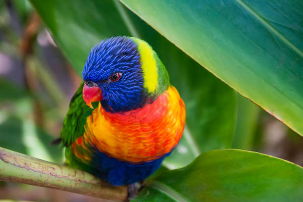 Adorable Poster featuring the photograph Striking Rainbow Lorakeet by Penny Lisowski