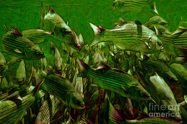 Florida Poster featuring the photograph Striped Bass - Painterly V2 by Wingsdomain Art and Photography
