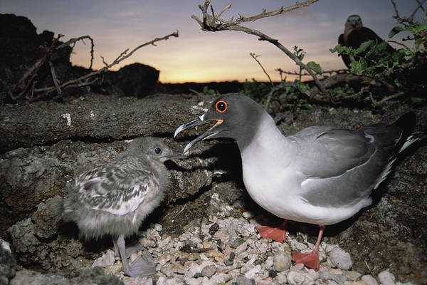 Feb0514 Poster featuring the photograph Swallow-tailed Gull And Chick In Pebble by Tui De Roy
