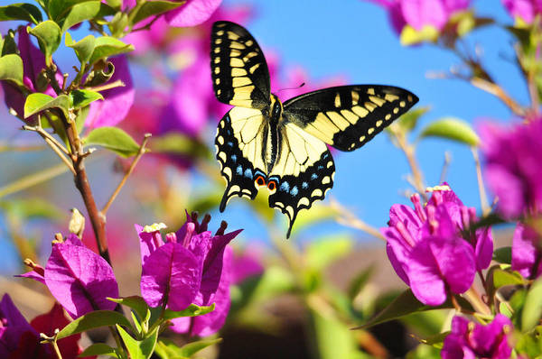 Flowers Poster featuring the photograph Swallowtail In Flight by Lynn Bauer
