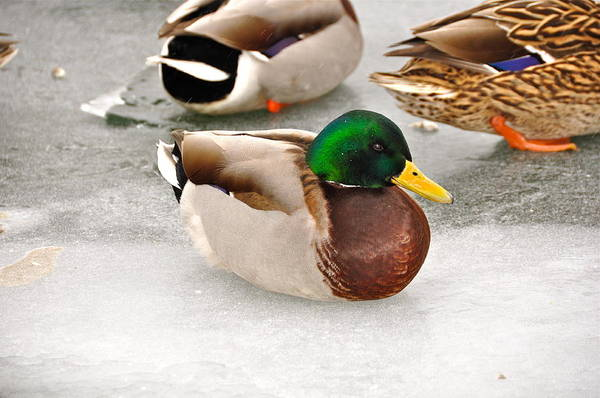 Duck Poster featuring the photograph The Outcast by Catherine Renzini