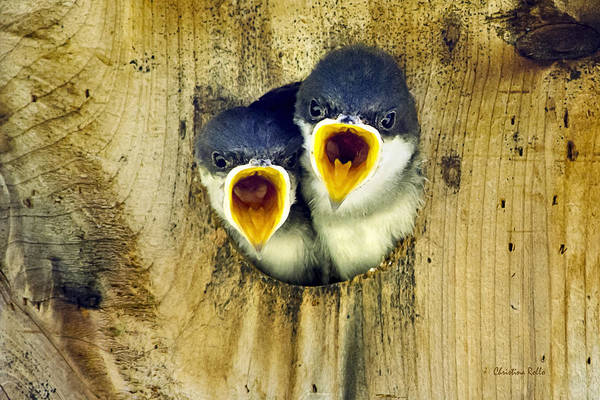 Tree Swallow Poster featuring the photograph Two Tree Swallow Chicks by Christina Rollo