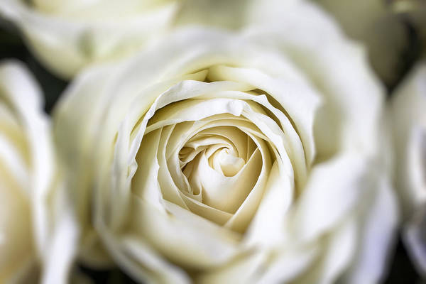 White Poster featuring the photograph Whie Rose Softly by Garry Gay