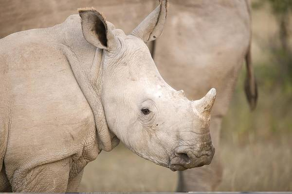 Adult Poster featuring the photograph White Rhinoceros Calf by Science Photo Library