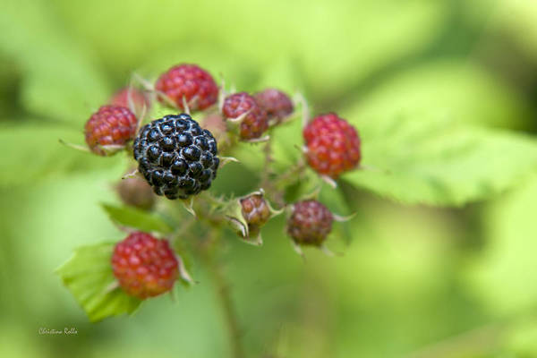 Raspberries Poster featuring the photograph Wild Berries by Christina Rollo
