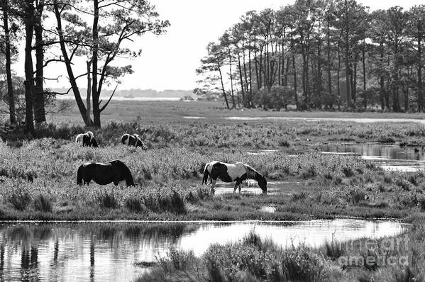 Wild Horses Poster featuring the photograph Wild Horses Of Assateague Feeding by Dan Friend