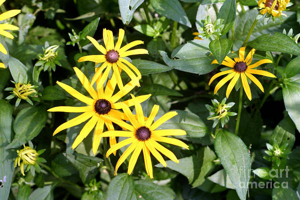 Black Eyed Susan Poster featuring the photograph Flower Rudbeckia Fulgida In Full by Ted Kinsman
