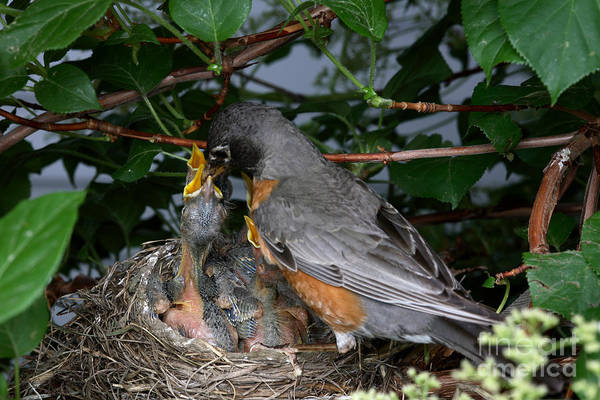 Robin Poster featuring the photograph Robin Feeding Its Young by Ted Kinsman
