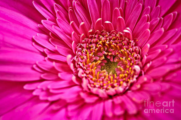 Flower Poster featuring the photograph Gerbera Flower by Elena Elisseeva