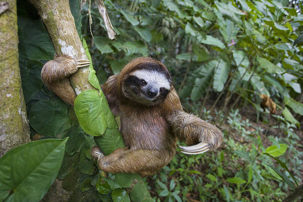 Mp Poster featuring the photograph Brown-throated Three-toed Sloth by Suzi Eszterhas