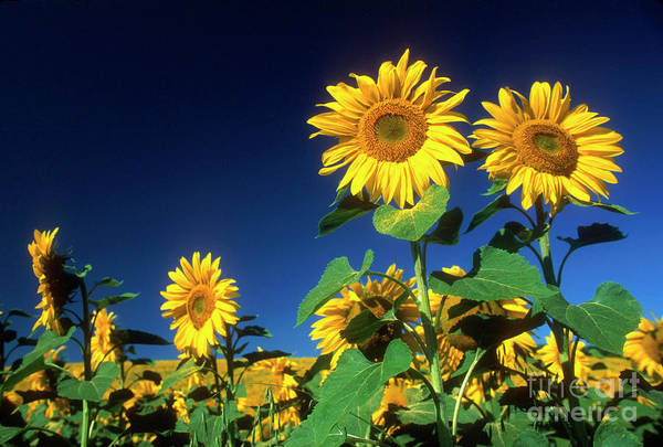 Auvergne Puy De Dome France Agricultural Agriculture Crop Cultivate Cultivation Rural Countryside Sunflower Field Plant Oil Yellow Flowers Close Up Summer Horizontal Poster featuring the photograph Sunflowers by Bernard Jaubert