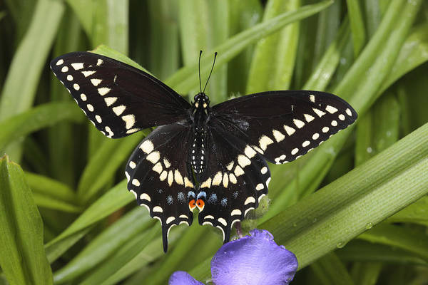 Day Poster featuring the photograph A Black Swallowtail Butterfly, Papilio by George Grall