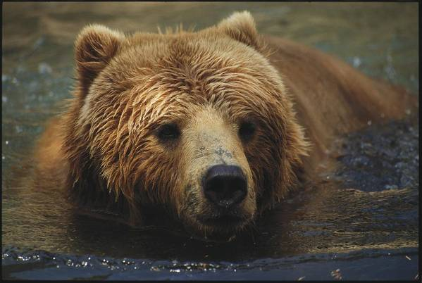 North America Poster featuring the photograph A Close View Of A Captive Kodiak Bear by Tim Laman