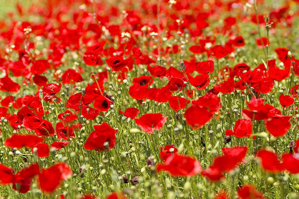 Europe Poster featuring the photograph A Field Of Poppies by Richard Nowitz