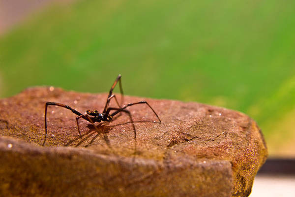 Black Poster featuring the photograph Black Widow Spider Male by Douglas Barnett