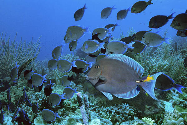 Acanthurus Coeruleus Poster featuring the photograph Blue Tang Surgeonfish by Georgette Douwma
