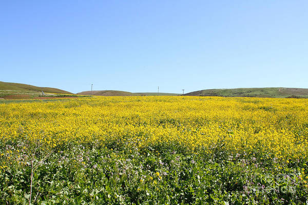Landscape Poster featuring the photograph Bodega Bay . Yellow Field . 7d12403 by Wingsdomain Art and Photography