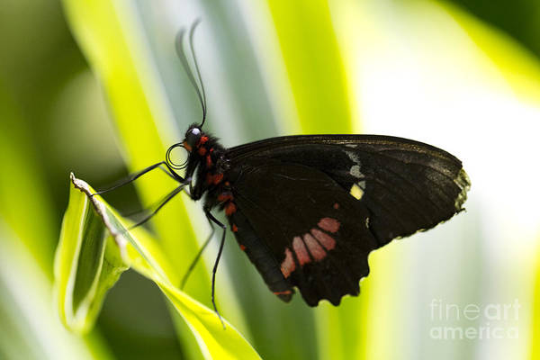 Butterfly Poster featuring the photograph Chili by Leslie Leda