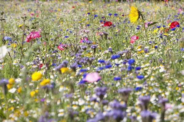 Horizontal Poster featuring the photograph Close Up Of Vibrant Wildflowers In Sunny Field by Echo