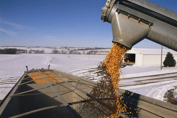 North America Poster featuring the photograph Corn Pours From An Auger Into A Grain by Joel Sartore