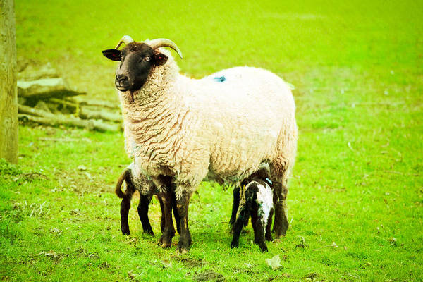 Agriculture Poster featuring the photograph Ewe And Lambs by Tom Gowanlock