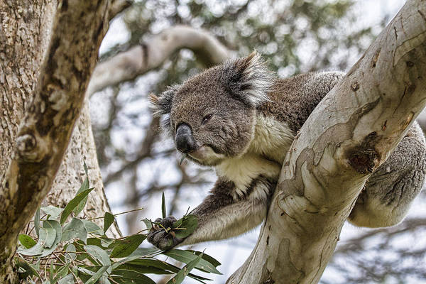 Koala Poster featuring the photograph Favorite Treat by Douglas Barnard