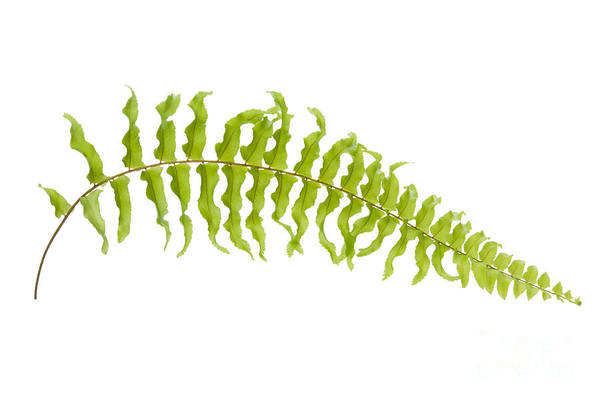 Aguilinum Poster featuring the photograph Fern Leaf by Atiketta Sangasaeng