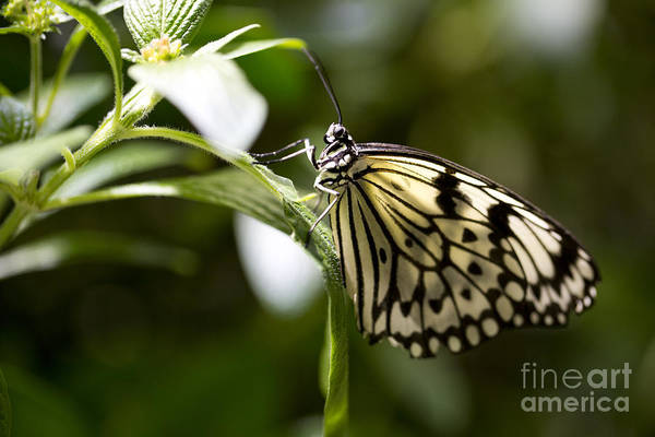 Butterfly Poster featuring the photograph Fred by Leslie Leda