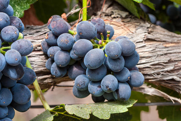 Grape Poster featuring the photograph Grape Cluster Vine by Dina Calvarese