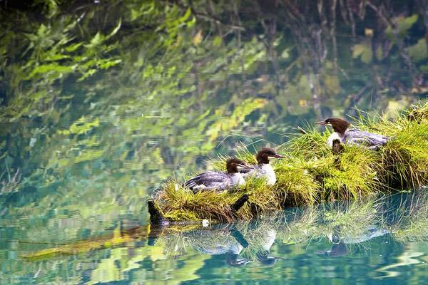 Alaska Poster featuring the photograph Grebe Podicipedidae Birds Sitting On A by Richard Wear