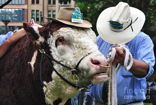 Photography Poster featuring the photograph Hereford Bull With Akubra Hat In Hyde Park by Kaye Menner