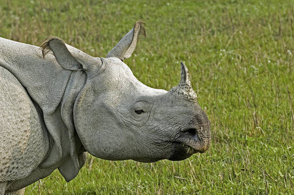 Rhinoceros Unicornis Poster featuring the photograph Indian Rhinoceros by Tony Camacho
