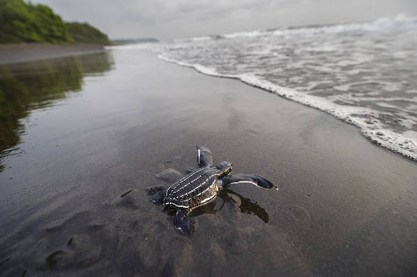 Outdoors Poster featuring the photograph Instinct Sends A Young Leatherback by Joel Sartore