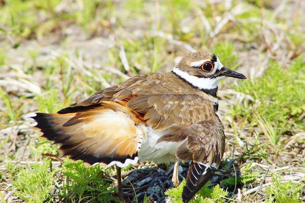 Killdeer Poster featuring the photograph Killdeer Feigns Broken Wing by Lynda Dawson-Youngclaus