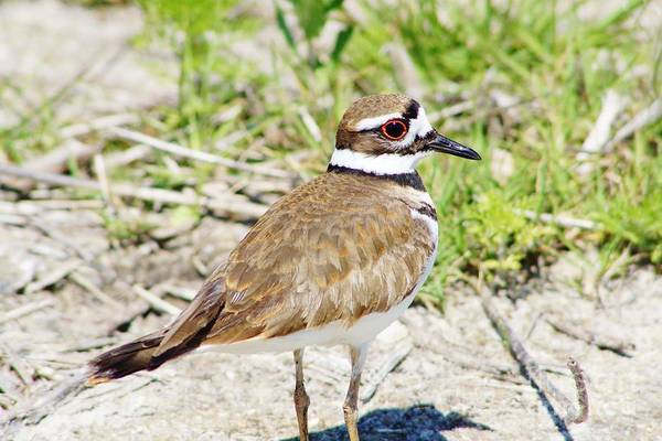 Killdeer Poster featuring the photograph Killdeer Pose by Lynda Dawson-Youngclaus