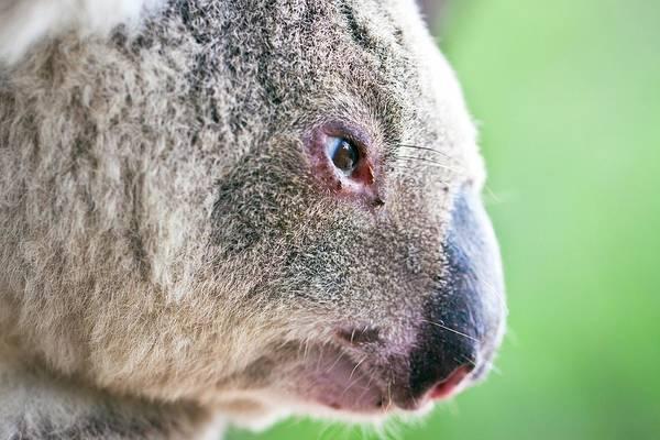Animal Poster featuring the photograph Koala Profile Portrait by Johan Larson