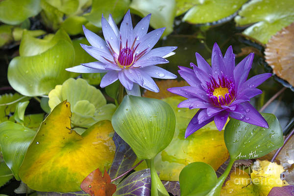Water Lilies Poster featuring the mixed media Lilies No. 2 by Anne Klar
