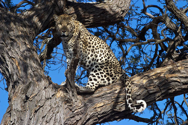 Leopard Poster featuring the photograph Lounging Leopard Namibia by David Kleinsasser