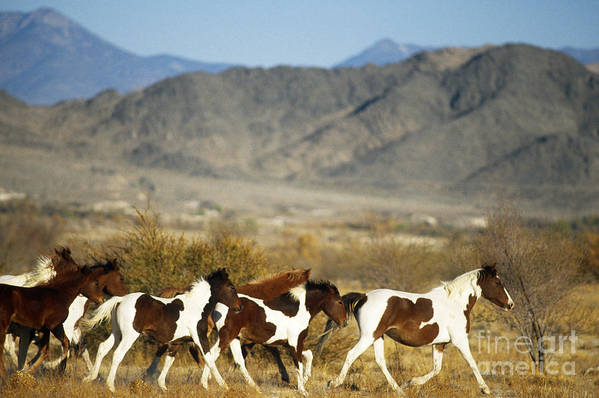 Fauna Poster featuring the photograph Mustangs by Mark Newman and Photo Researchers